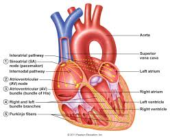 What Is Human Anatomy And Physiology Chapter 13