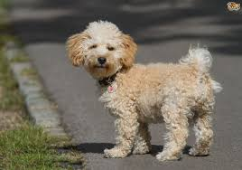 dogs with curly hair and floppy ears cavapoo dog breed information buying advice photos and facts