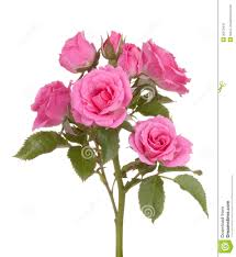 roses flowers roses flowers pink flower royalty free stock photo image