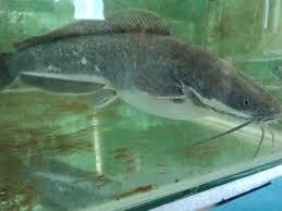 freshwater fish smart farming technologies cc freshwater fish farming in south