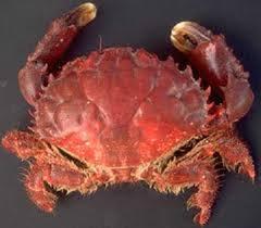 Pleins De Crabe Violonistes Très Jean Claude Quideau Lesconilquideau