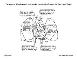 pulmonary circulation through heart and lungs advanced