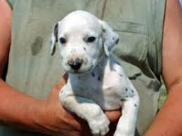 affenpinscher in texas dalmatian puppies in texas
