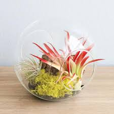 large hand blown glass terrarium with red abdita u0026 ionantha