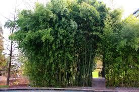 Bambus Garten Design Bambus Im Garten U2013 Siddhimind Info