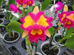 Orchid Flower Pic - ten of the most beautiful cattleya orchid flowers orchidaceous