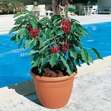 patio u0026 dwarf fruit trees yougarden