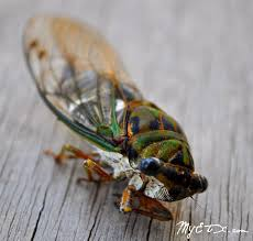 Texas How Does Sound Travel images Texas cicada we always called them chicharras they are the sound jpg