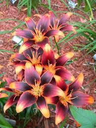 Pictures Of Gardens And Flowers Best 25 Red Perennials Ideas On Pinterest Red Plants Flowers