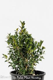 English Box Topiary - topiary the palm place nursery