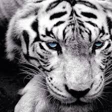 white tiger masakun0813