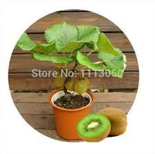 discount kiwi fruit trees 2017 kiwi fruit trees on sale at