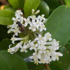 White Flowering Shrub - 15 flowering shrubs for bees