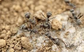 ant infestations u0026 extermination swoboda pest u0026 termite control