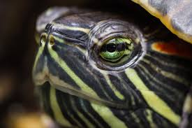 pet reptiles create high risk for severe salmonella infections in