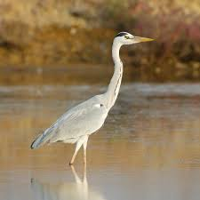 grey heron europe asia u0026 africa large wading birds