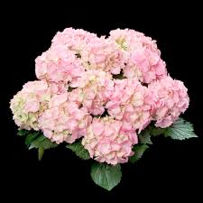 pink hydrangea hydrangea tea time pink sensation