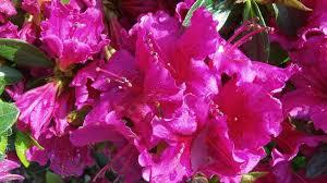 Flowering Shrubs For Partial Sun - azalea u0027girard u0027s purple u0027 girard u0027s purple azalea flowering