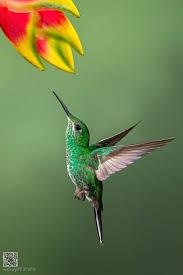 best 25 hummingbird ideas on pinterest hummingbirds