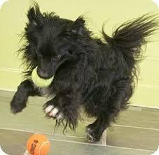 affenpinscher coat type dogalize razas de perros affenpinscher caracteristicas y cuidados