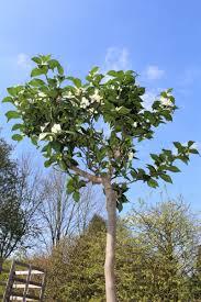 G Stige K Hen Online Kaufen Chinotto Pflanze Kaufen Chinotto Online Bestellen Im Lubera Shop