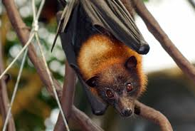 9 fantastic facts about flying foxes mental floss