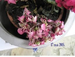 moquette rose fushia help hortensia jardinage forum vie pratique