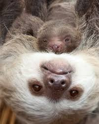 baby sloth born at lincoln park zoo in chicago chicago parent
