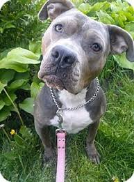 american pitbull terrier kennels in michigan garden city mi american pit bull terrier mix meet hope a dog