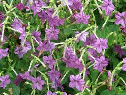 nicotiana ornamental plant of the week for january 26 2015