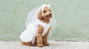 these tiny dogs are getting married and everyone u0027s invited