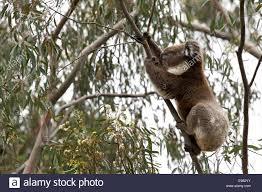 koala active in gumtree stock photo royalty free image 74551343