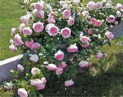 complicata rose google search garden plants roses