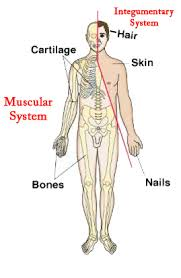 Human Anatomy Integumentary System Muscular System On Emaze