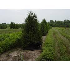 cedar trees cedar trees for sale in michigan cold farm