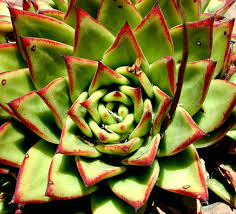 succulent facts beautiful succulent varieties flower pressflower press