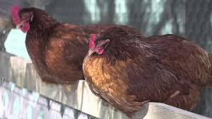 how do i add new to my flock chickens in a minute youtube