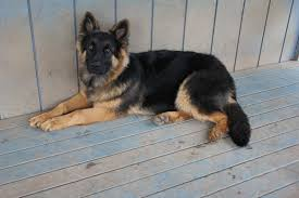 belgian shepherd 4 months what does did your 6 month old pup weigh german shepherd dog forums