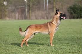 belgian sheepdog traits mechelse herder belgian shepherd dog malinois little