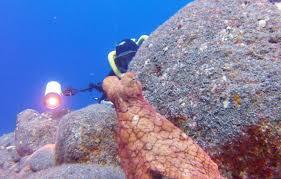Seeking Octopus Octopus Plays Hide And Seek With Photographer