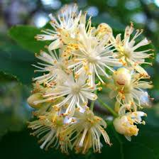 linden flower linden blossom absolute rocketrobin ca