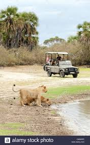 african jeep tourists on an african jeep safari watching lions selous game