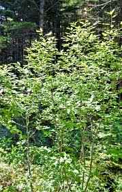 native plants of ontario 18 species of holly trees and shrubs
