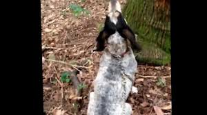 bluetick coonhound treeing bluetick treeing a coon youtube