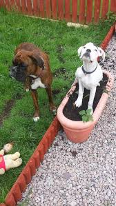 boxer dog uncontrollable head shaking 932 best boxers images on pinterest boxer love boxers and boxer