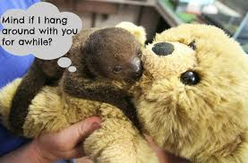 Cute Sloth Meme - these adorable orphaned baby sloths don t have moms so they cling