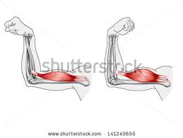arm muscle stock images royalty free images u0026 vectors shutterstock
