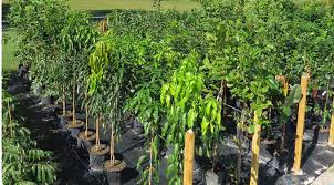 fruit trees for sale swfl citrus trees avocado trees and more
