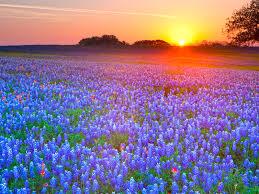 texas hill country texas bluebonnets texas hill country texas