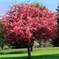 25 best ornamental trees images on garden trees
